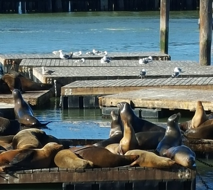 Seals and seagulls co-exist on docks at Pier 39.